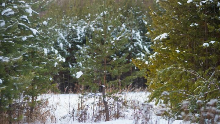 Лесники начнут ловить похитителей елок на свердловских дорогах