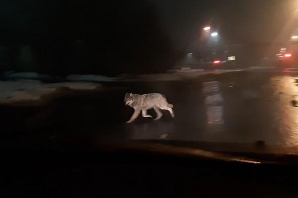 Очевидцы заметили дикое животное на Московском проспекте, а затем волк убежал на улицу Октябрят