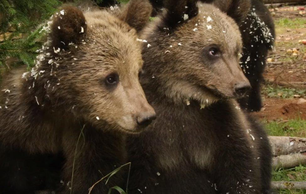 Кадр из видео в YouTube-каналеRussia Baby Bear Rescue
