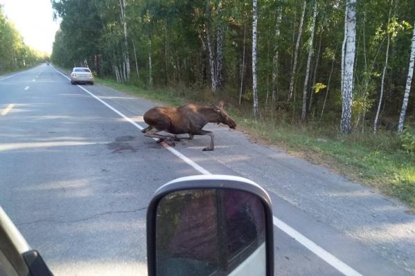 Лось появился на дороге неожиданно для водителей