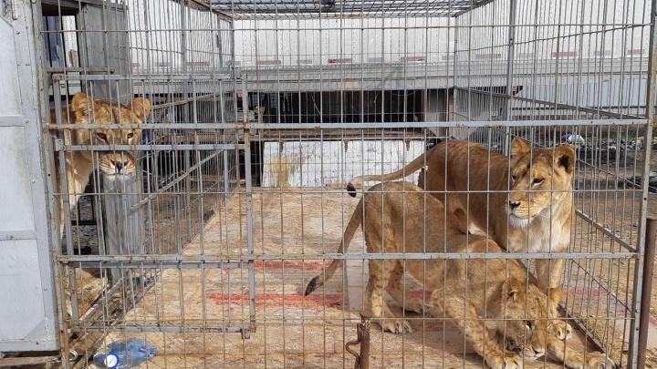 В Кургане из-за коронавируса застрял цирк с дрессированными животными