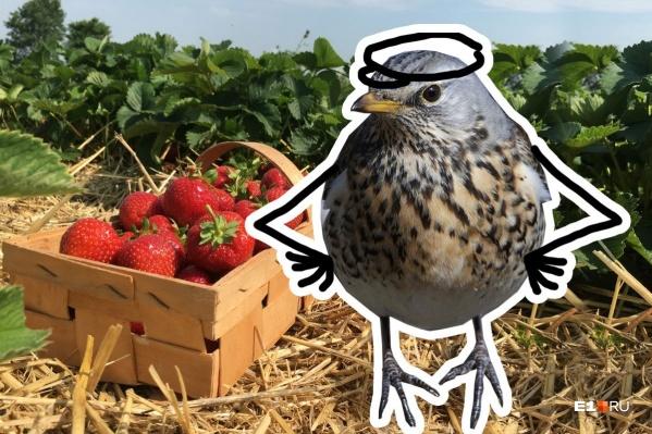 На садовую ягоду в этом году очень много желающих, но птицывпереди всех