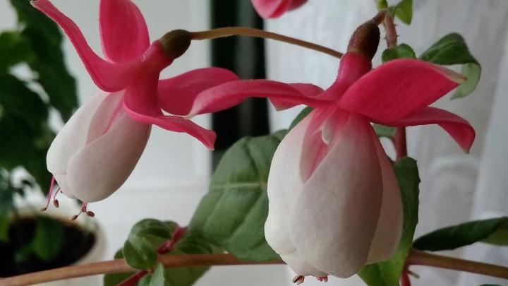 Красота на подоконнике: посмотрите, какие цветы распустились в домах наших читателей