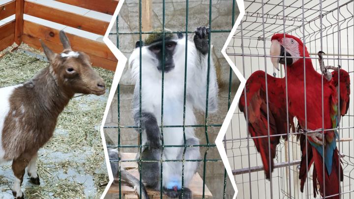 Обезьяны и коронавирус: как самоизоляция ударила по животным зоопарка в Архангельске