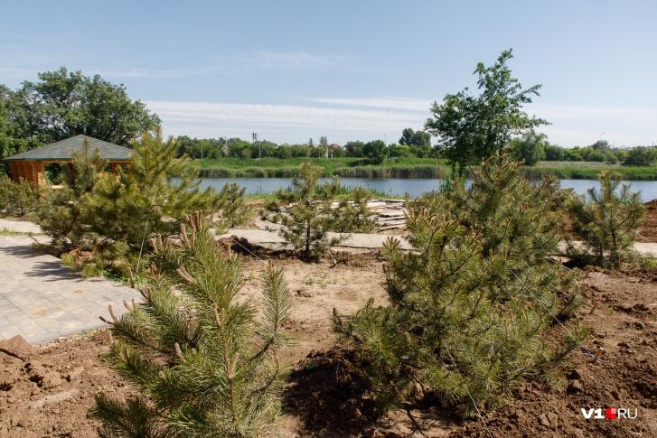 В парке уже высадили 70 сосен, скоро к ним присоединятся другие деревья