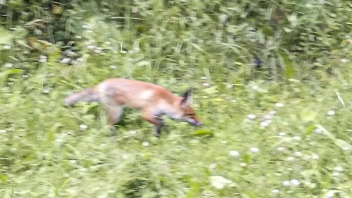«Кыш-кыш! Она за мной идёт!»: на ярославца в Брагино из кустов выскочил лисёнок