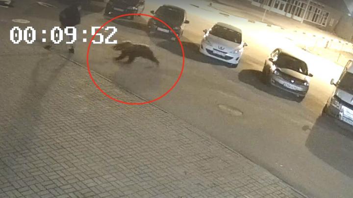 Появилось видео, как в Ярославле медведь напал на человека