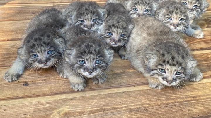 В Новосибирском зоопарке родились 16 манулов — у них очень яркие голубые глаза