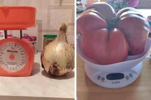 Чаще всего читатели хвастаются огромными томатами, но на одном огороде удалось вырастить очень большой лук