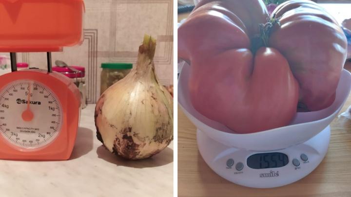 Огромный лук и великан-помидор в 1,7 килограмма — какие ещё гиганты растут на дачах у новосибирцев