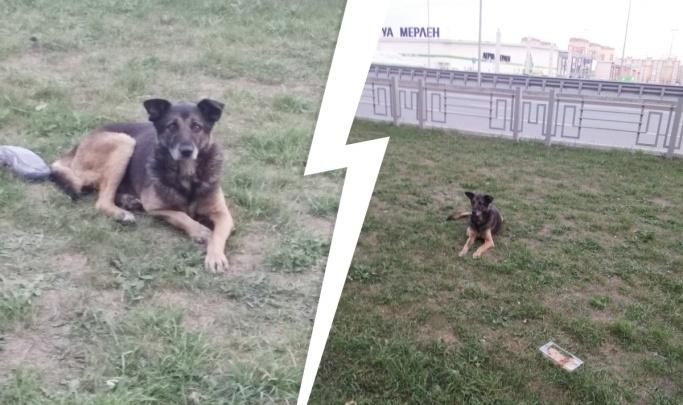 В Тюмени ищут пса по кличке Цезарь, который три месяца шел 120 километров до хозяев