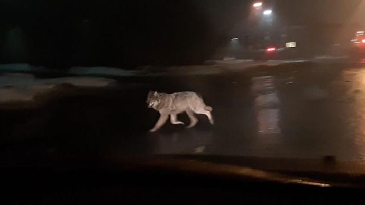 «Я не психолог волчий»: на улицах Архангельска засняли на видео волка