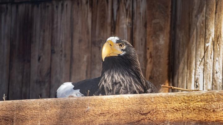 «Птиц не может смутить окружение и погода»: орланы в Новосибирском зоопарке начали строить гнёзда