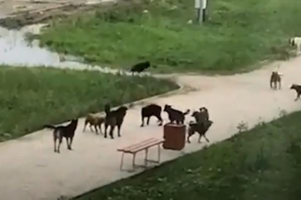По словам местных жителей, по двору спокойно бегают около 15 бродячих и злых собак