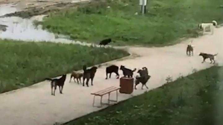 «На днях разорвали кошку»: в Екатеринбурге стая злых собак терроризирует людей