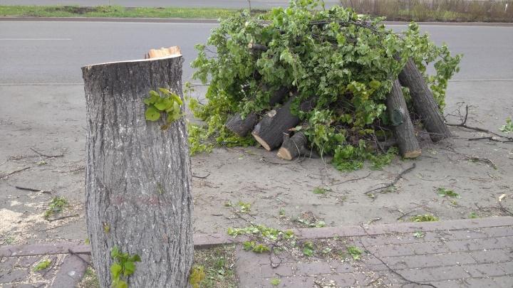 Вдоль главной улицы Челябинска вырубили деревья. Вице-мэр в курсе