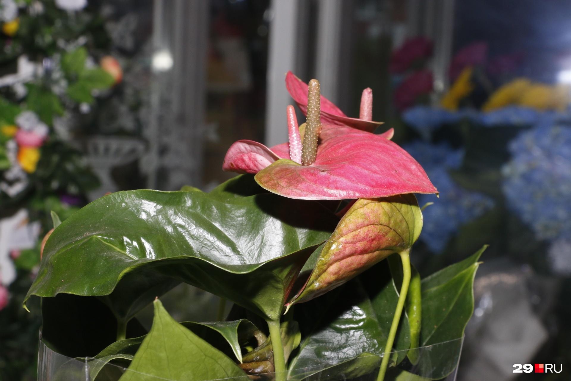 Считается, что антуриум — магический цветок, который помогает привлечь внимание мужчин. А еще — удачу и деньги