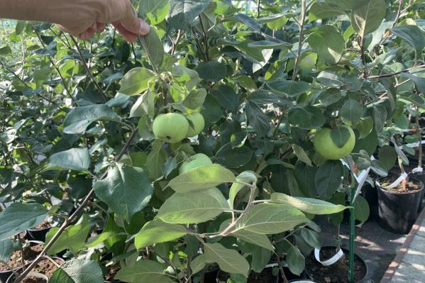 В разгар сезона сотрудники компании хотят порадовать всех челябинских садоводов и предложить им самые красивые саженцы по лучшим ценам