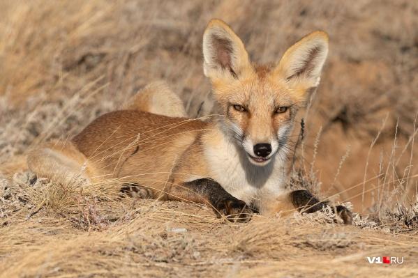 Маленького хищника можно встретить у подножья или на вершине Александровского грабена