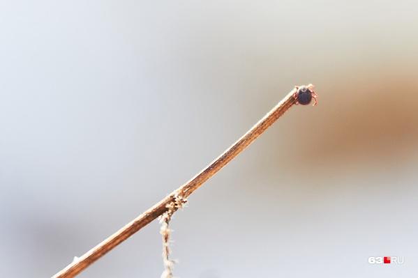 Размер большинства клещей варьируется от 0,08 мм до 1 мм. У некоторых видов тело самок, насосавшихся крови, увеличивается до 10–20 мм