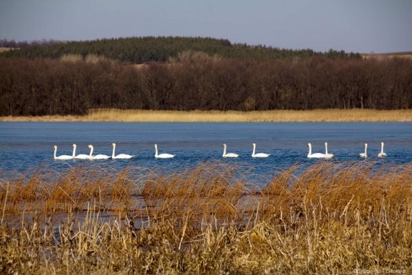 Урюпинский фотограф удачно попала на озеро во время прилета белых лебедей