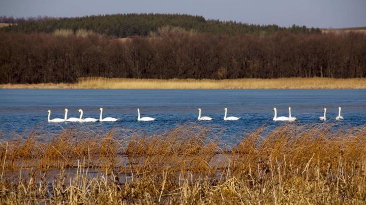 «Будет теплая зима — могут и остаться»: озеро в Урюпинском районе облюбовала стая лебедей