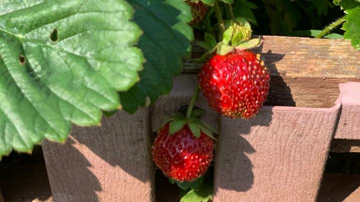 Кто съел ягоды на даче: ответ нашёлся с помощью камер видеонаблюдения