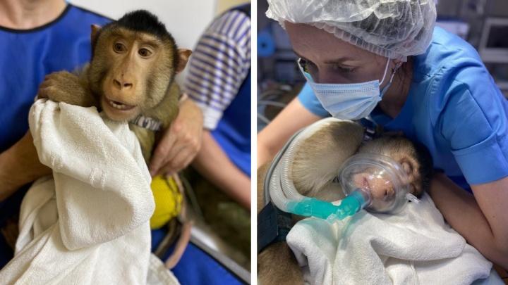 На макаку Веню напал его брат: обезьяне потребовалась помощь новосибирских ветеринаров