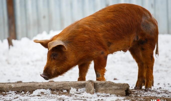 Всех под нож: на границе с Ростовской областью вспышка африканской чумы свиней