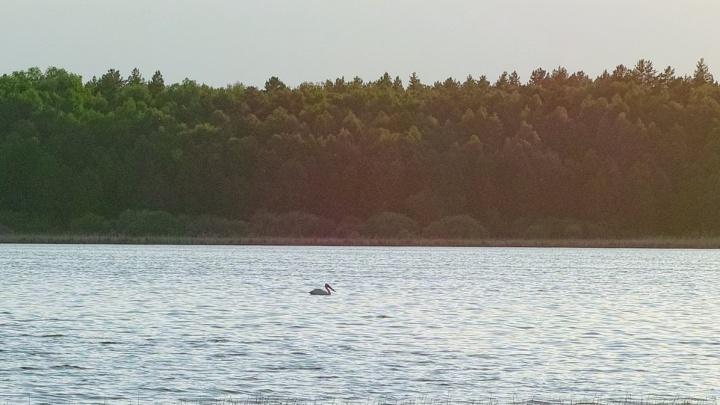 «Природа очистилась»: курганцы обсуждают фото пеликана на одном из водоёмов