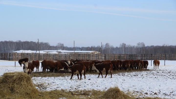 Из-за туберкулеза на карантин закрыли ферму в Муромцевском районе