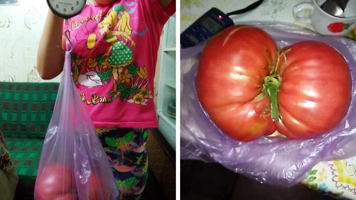 «Почти 1,5 килограмма!»: под Новосибирском на огороде вырос огромный помидор