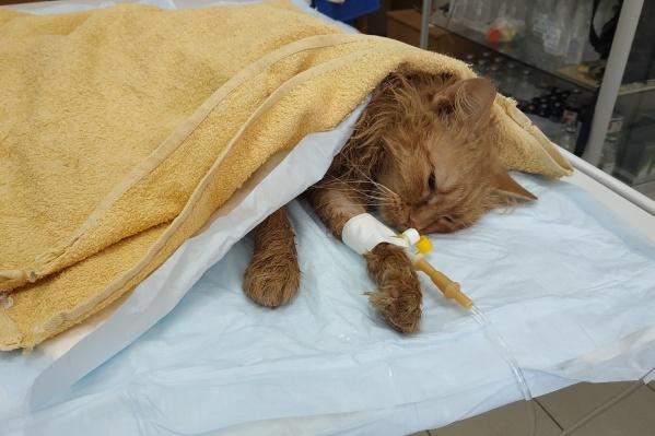 Кот два дня находится в стационаре клиники и получает всю необходимую медицинскую помощь