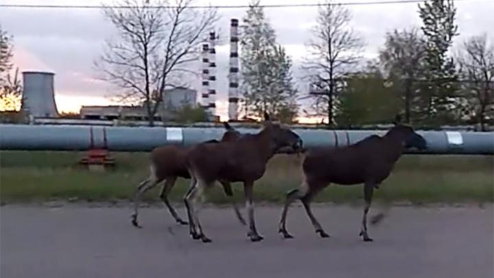 «Вот они — красавцы»: четыре лося вышли на дорогу в Ярославле. Видео