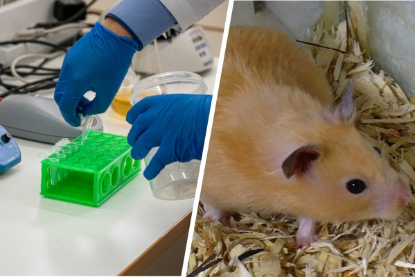 Для модели эксперимента учёные использовали сирийских хомяков, восприимчивых к коронавирусу