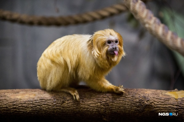 Мелкие приматы в основном едят свежие фрукты и овощи
