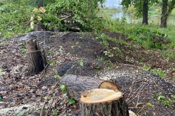 Вместо аварийных подрядчик спилил здоровые деревья