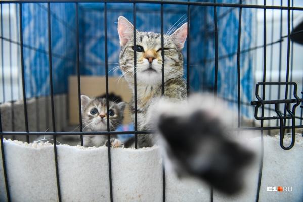 Известны случаи заражения кошек коронавирусом