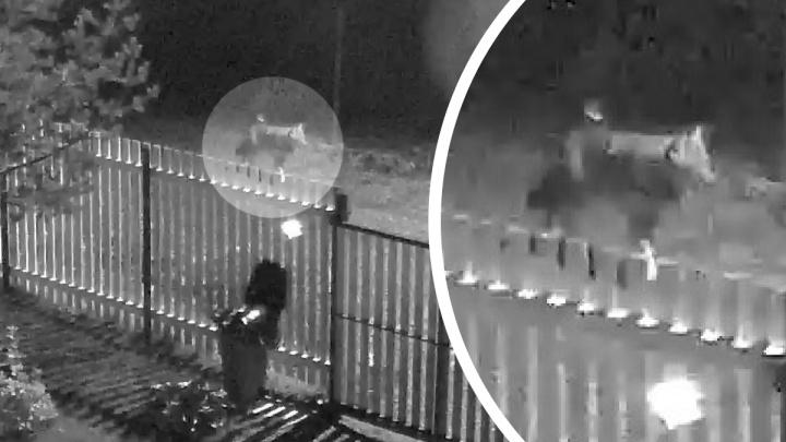 Под Архангельском камера видеонаблюдения засняла волка, разгуливавшего по СНТ