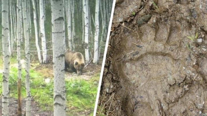 Косолапые стали чаще выходить к людям: в Свердловской области за лето и осень застрелили 11 медведей