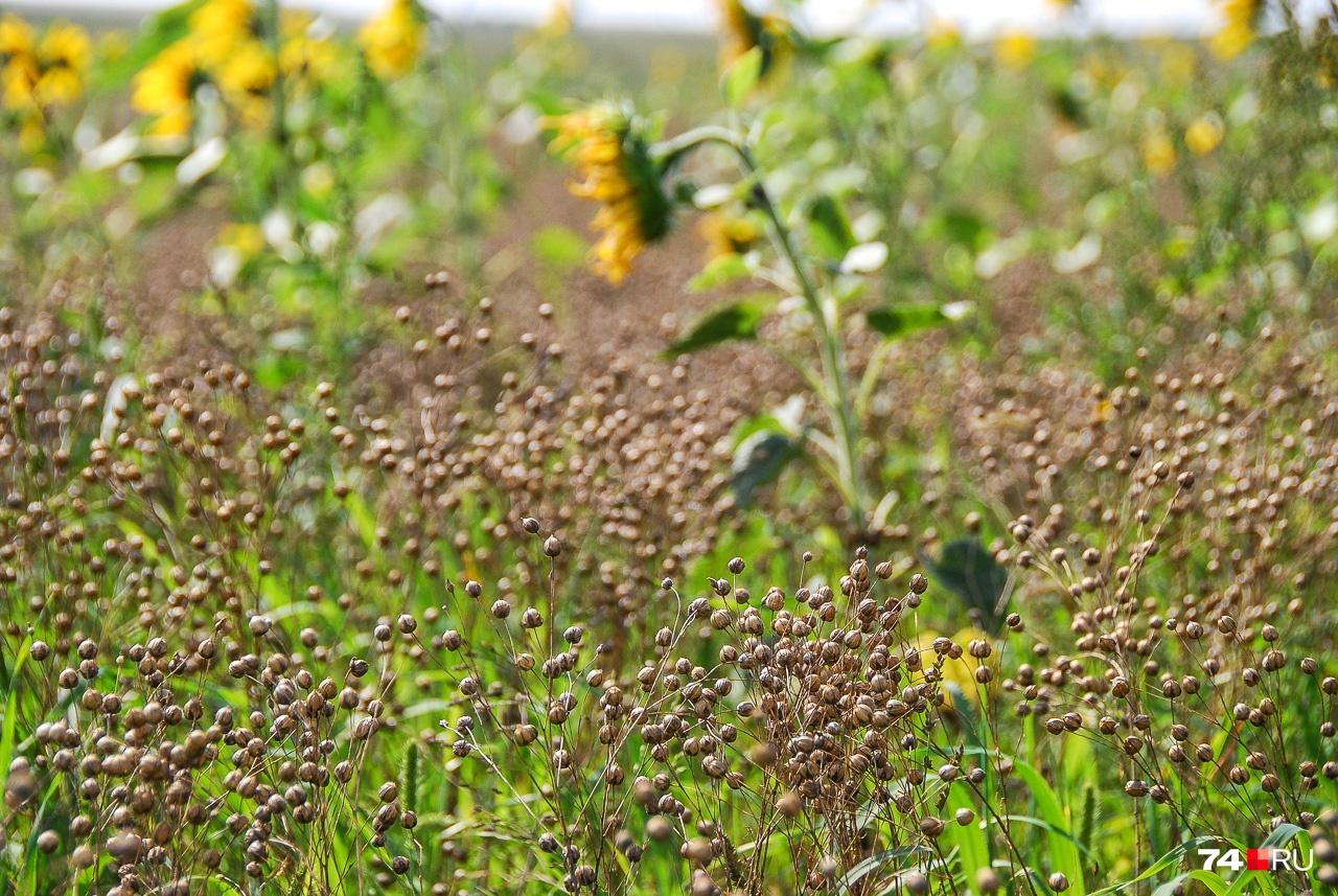 Так растёт лён. Не обращайте внимание на подсолнухи: из-за аномальной погоды под конец лета проросли семена, оставшиеся с прошлых лет
