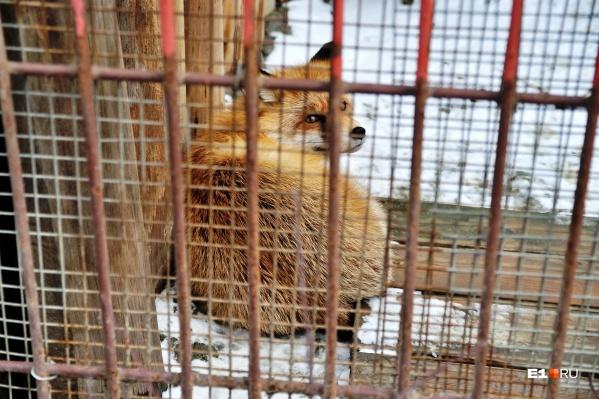 Лисица из зоопарка позавидовала бы своей свободной товарке