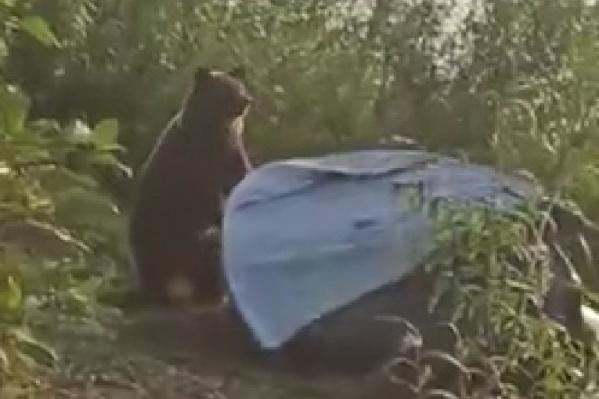 Медведь сломал палатку