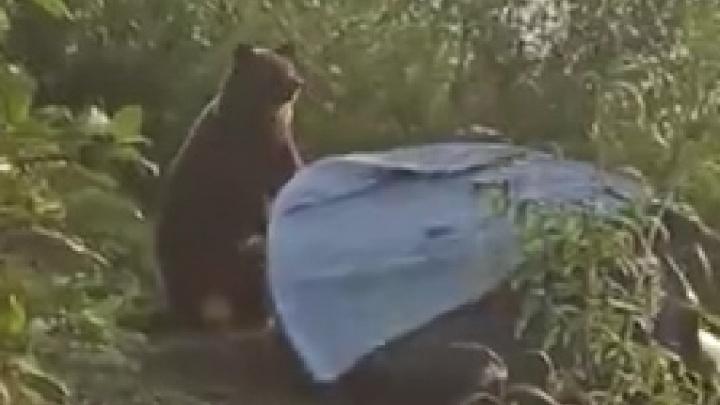 На берегу под Ветланом медведь растерзал палатку. Туристы сняли это на видео