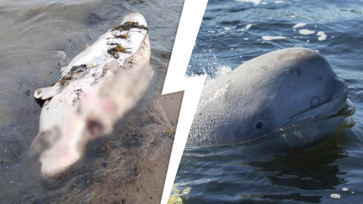 Здесь их «родильный дом»: в Онежском заливе на берег вынесло несколько погибших белух