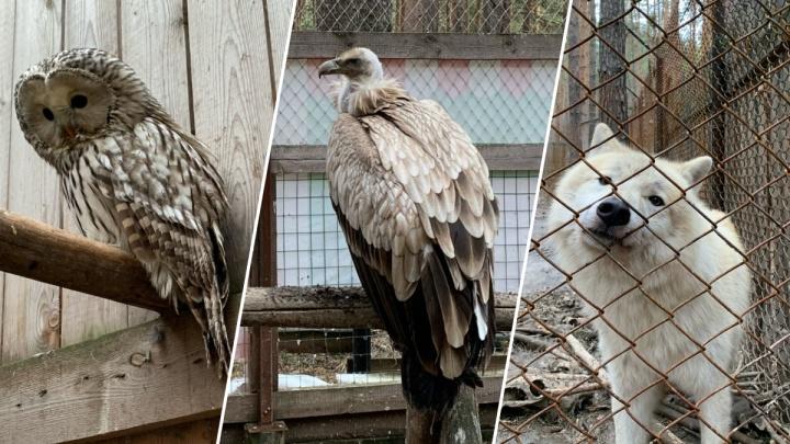 «Нас закрыли до лета»: хищные птицы из центра реабилитации под Екатеринбургом остались без корма