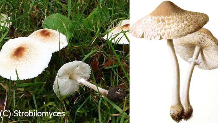 Поганки? А вот и нет — один из этих грибов вполне съедобный и вкусный. Который?
