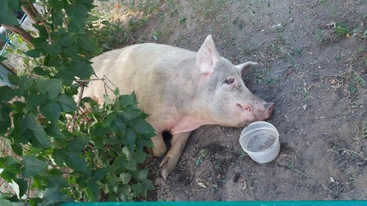В Самаре свинья весом под 200 кг облюбовала детскую площадку