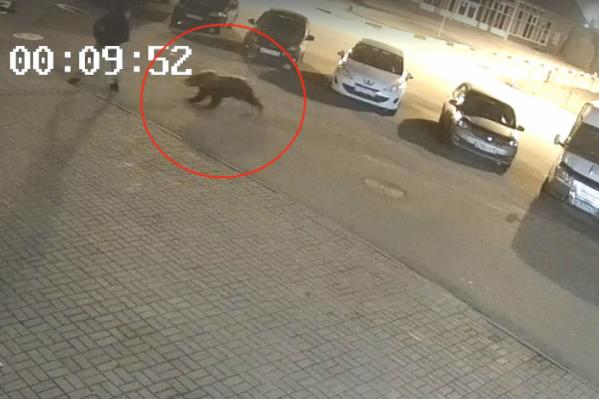 Медведь напал на человека прямо в городе