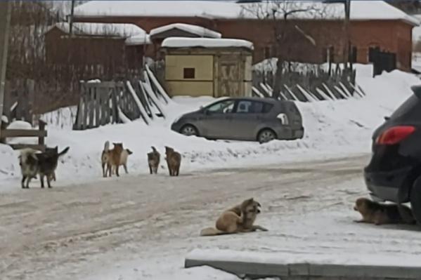 Эту стаю златоустовский депутат сняла на видео в старой части города, но встретить бродячих собак можно и в других районах